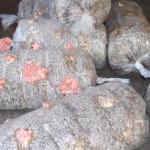 mushrooms growing in bags