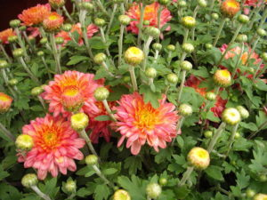 mums from The Family Garden