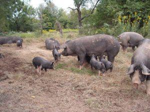 Berkshire hogs in field