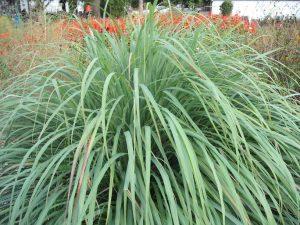 large lemongrass plant