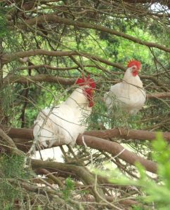 Free range chickens roosting in tree