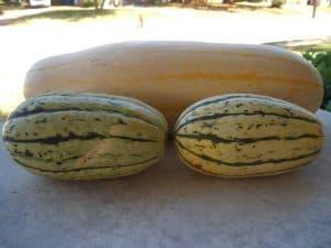 Jumbo delicata squash alongside two of normal size