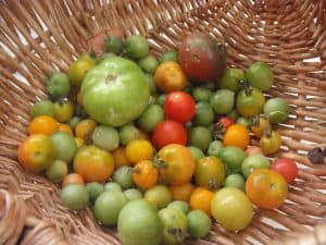basket of end-of-season garden tomatoes