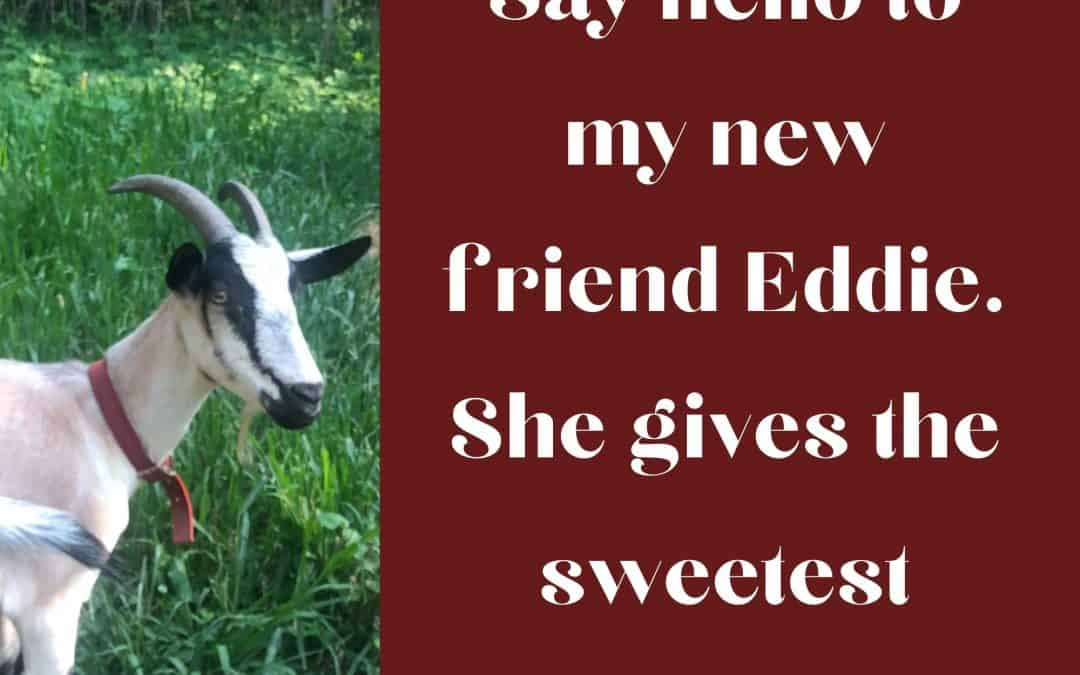 profile of Eddie the goat with text: Say hello to my new friend Eddie. She gives the sweetest milk.