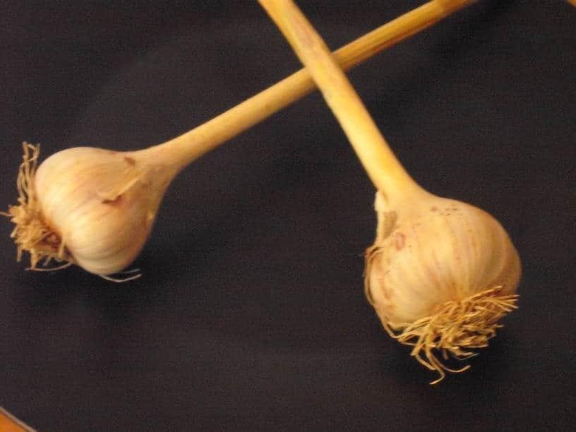 Fresh…REALLY Fresh…Garlic